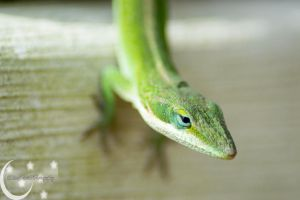Anole by Paper-Foxx