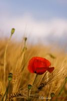 poppies by matze-end
