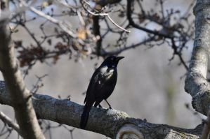 Grackle by xim0nfir3x