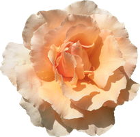 Rose PNG #002 by DarkSideofGraphic