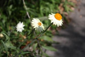 flowers 0951 by fa-stock