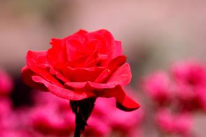 roses are red II by anja-B