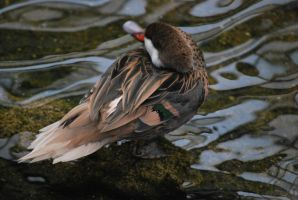 bahama pintail 1.4 by meihua-stock