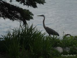 Heron on the front lawn by CountryBumkin