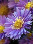 Another aster by Vampirbiene