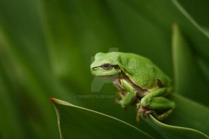 My frog by domifoto