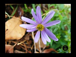 Native Daisy by Ranger-Roger-Reserve