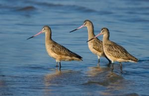 GQ Godwit by TerribleTer