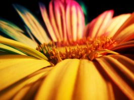 Happy Gerber Daisy by wentzxxpete