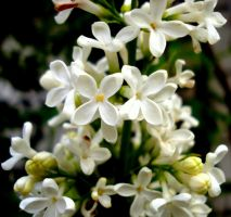 White Lilac by deoris