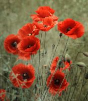 Vintage Poppies by XavierSchneider