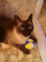 Meet my Siamese cat by ArisuAmyFan