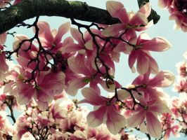 Spring Magnolias (5) by Michies-Photographyy