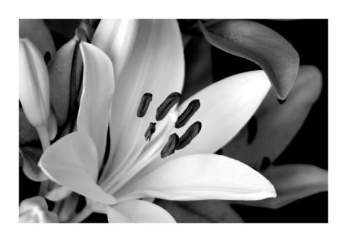 Lily Black and White by Wilce