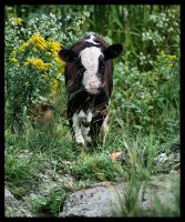 Calf grazing by NOS2002