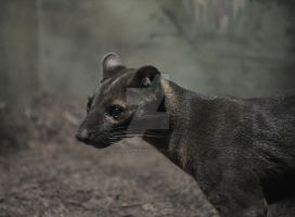 Looking Fossa by HecklingHyena