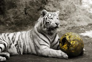 White Tiger by MartenD