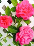 More Roses by Duchess-of-Dismal