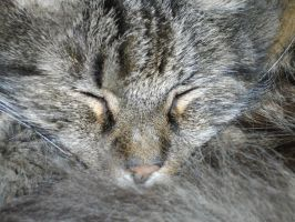 Napping cat by Lyrak