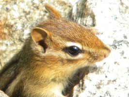 Chipmunk 02 by Stock7000