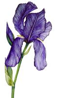 Iris by Aire031
