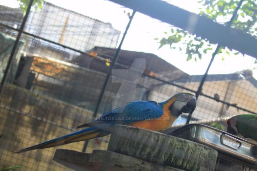 Blue Yellow Parrot by mailtoejas