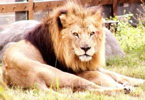 Zoo-Lion by zoogirl