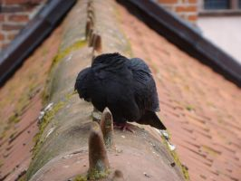 Pigeon 3 by Panopticon-Stock