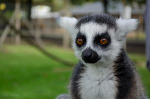 portrait of a Lemur by lens-boy