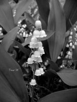 Lily of the Valley by blackpenguin466