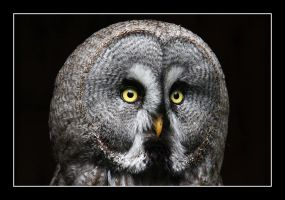 Great Grey Owl by LukasB86