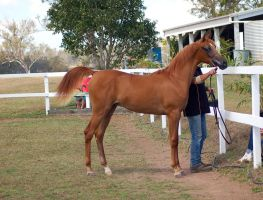 GE Arab chestnut young stand side view by Chunga-Stock