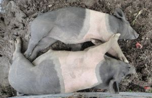 2 Pigs Full Body Shot by PucchiQ
