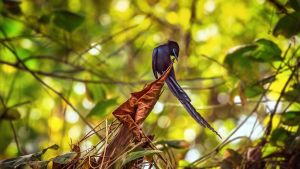 Seychelles Paradise Flycatcher by fly10