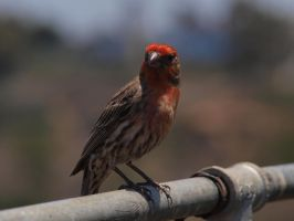 Male House Finch 8 by photographyflower