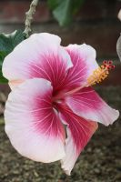 Candy Striped Hibiscus by CASPER1830
