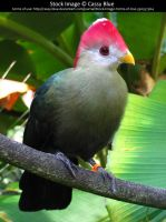 Red Crested Turaco stock 3 by Cassy-Blue