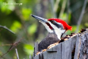 Pileated Woodpecker by gigi50