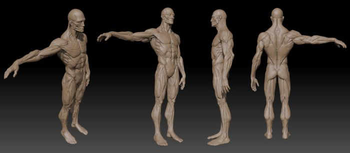 Anatomy Zbrush by mojette