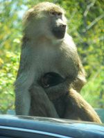 Baboon and baby by allykat