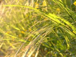 evening grass III by sineous