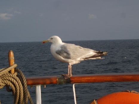 seagul by Normandreas