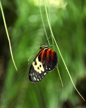Roosting Tiger Longwing by TheSleepyRabbit