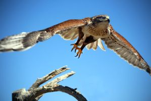 Ferruginous Hawk by mammothhunter