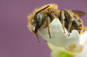 Mason Bee by Abovelifesize