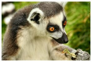 063 Lemur by JRose-Photography