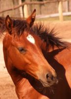 Bay filly by LadyAyslinn