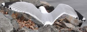 Seagul Wing Span by ummok123