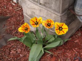 four yellow and red tulips by LegendsAndMyths
