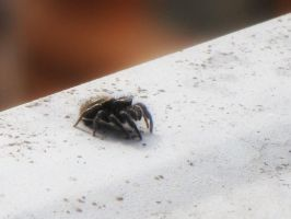 Jumping Spider 2 by Misty2007